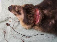 dog-in-snare